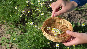 Herbalist hand camomile stock video footage