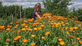 Herbalist peasant woman harvest marigold herb bloom in plantation. 4K stock footage