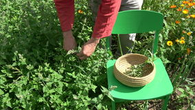 Herbalist picking fresh medical lemon balm in summer garden