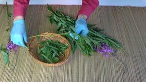 Herbalist picking leaves from medical herb fireweed Epilobium angustifolium stock video