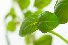 Herbals in garden - Basil Stock Image