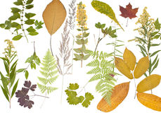 Herbarium. The dried plants for a herbarium on a white background Stock Images
