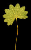 Herbarium. Leaf on black background Stock Image