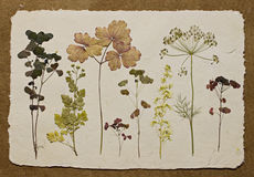 Herbarium. Dry plantes on a white background Royalty Free Stock Photo