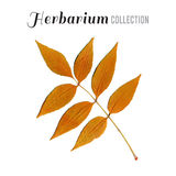 Herbarium collection leaf Royalty Free Stock Image