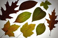Herbarium with colour leaves Royalty Free Stock Photography