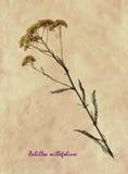 Herbarium der gemeiner Schafgarbe Lizenzfreies Stockbild
