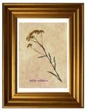Herbarium der gemeiner Schafgarbe Stockbild