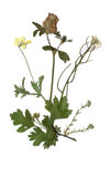 Herbarium with dry pressed Green summer meadow plant on white background. Stock Photo