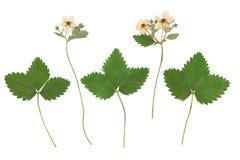 Herbarium från den ordnade torkade blomstra blomman i rad Arkivfoto
