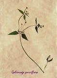 Herbarium of gallant soldier Stock Images