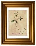 Herbarium of gallant soldier Stock Photo