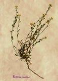 Herbarium of hoary alyssum Royalty Free Stock Photos