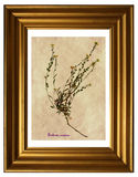 Herbarium of hoary alyssum Stock Photography