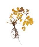 Herbarium mit trockenen gepressten Anlagen Stockbild