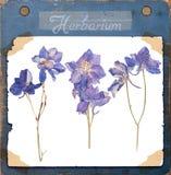 Herbarium pressed blue flowers Stock Photos