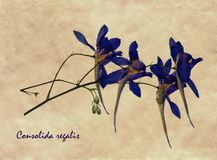 Pressed and dried flowers of Forking Larkspur Royalty Free Stock Images