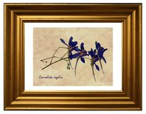 Pressed and dried flowers of Forking Larkspur Stock Photos