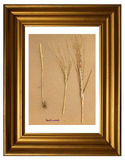 Herbarium of Rye. Herbarium from pressed and dried plant of Rye Secale cereales in the frame Stock Photo