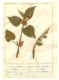 Herbarium sheet - 4/30 royalty free stock photos