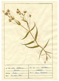 Herbarium sheet - 5/30 Stock Image