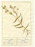Herbarium sheet - 5/30 Stock Image