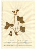 Herbarium sheet - 6/30 Royalty Free Stock Images