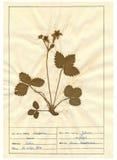 Herbarium sheet - 6/30 royalty free stock images