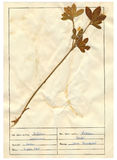 Herbarium sheet - 7/30 Stock Images
