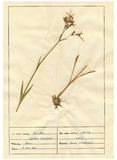 Herbarium sheet - 9/30 Royalty Free Stock Photography