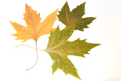 Herbarium. Three dried autumn leaves on a gray background Stock Image