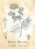 Herbarium- Valeriana Officinalis royalty free stock image