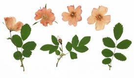 Herbarium von der getrockneten blühenden Blume in Folge vereinbart Stockfotografie
