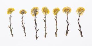 Herbarium von getrockneter blühender Blume mit lateinischem Tiefzeichen Stockfotografie