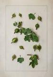 Herbariumblad och bär för krusbär botaniska Arkivfoton