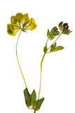Herbariumsteekproef Stock Afbeelding