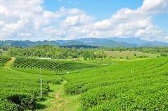 Herbat pola Zdjęcie Stock