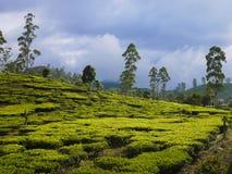 Herbat pola blisko do Nuwara Eliya, Sri Lanka Zdjęcia Royalty Free