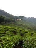 Herbat pola w mgle zdjęcia stock