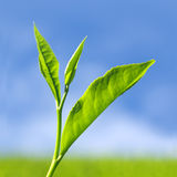 Herbata liść obraz royalty free