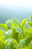 Herbata liść zdjęcie stock