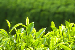 Herbata Liść fotografia royalty free