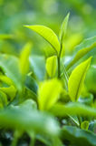 Herbata Liść zdjęcia royalty free