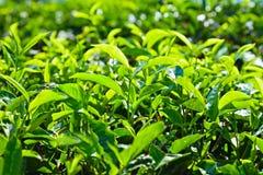 Herbata liść Obrazy Stock