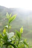 Herbata liść Zdjęcie Royalty Free