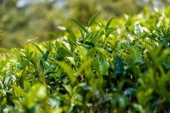 Herbata liście przy herbacianą plantacją i pączek obraz stock