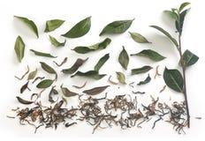 Herbata liście z wysuszoną herbatą i gałąź obraz royalty free