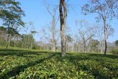 herbata ogrodowa obrazy royalty free