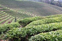 herbata w terenie Zdjęcia Royalty Free