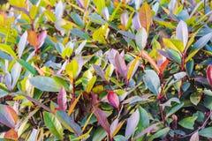 Herbata zielony krzak zdjęcie royalty free
